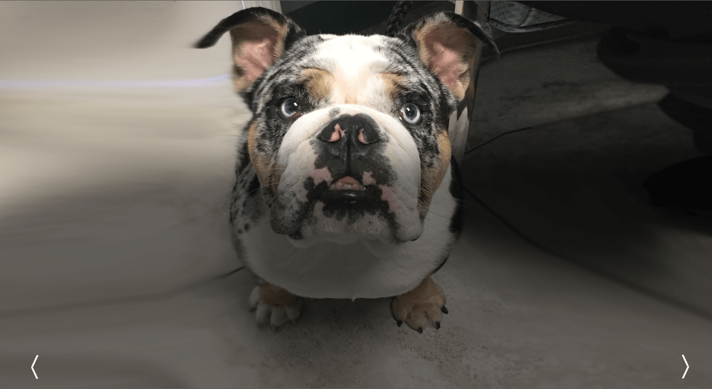 English Bulldog Veterinarian Miami